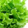 Салат латук свежий