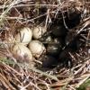 Утиное яйцо